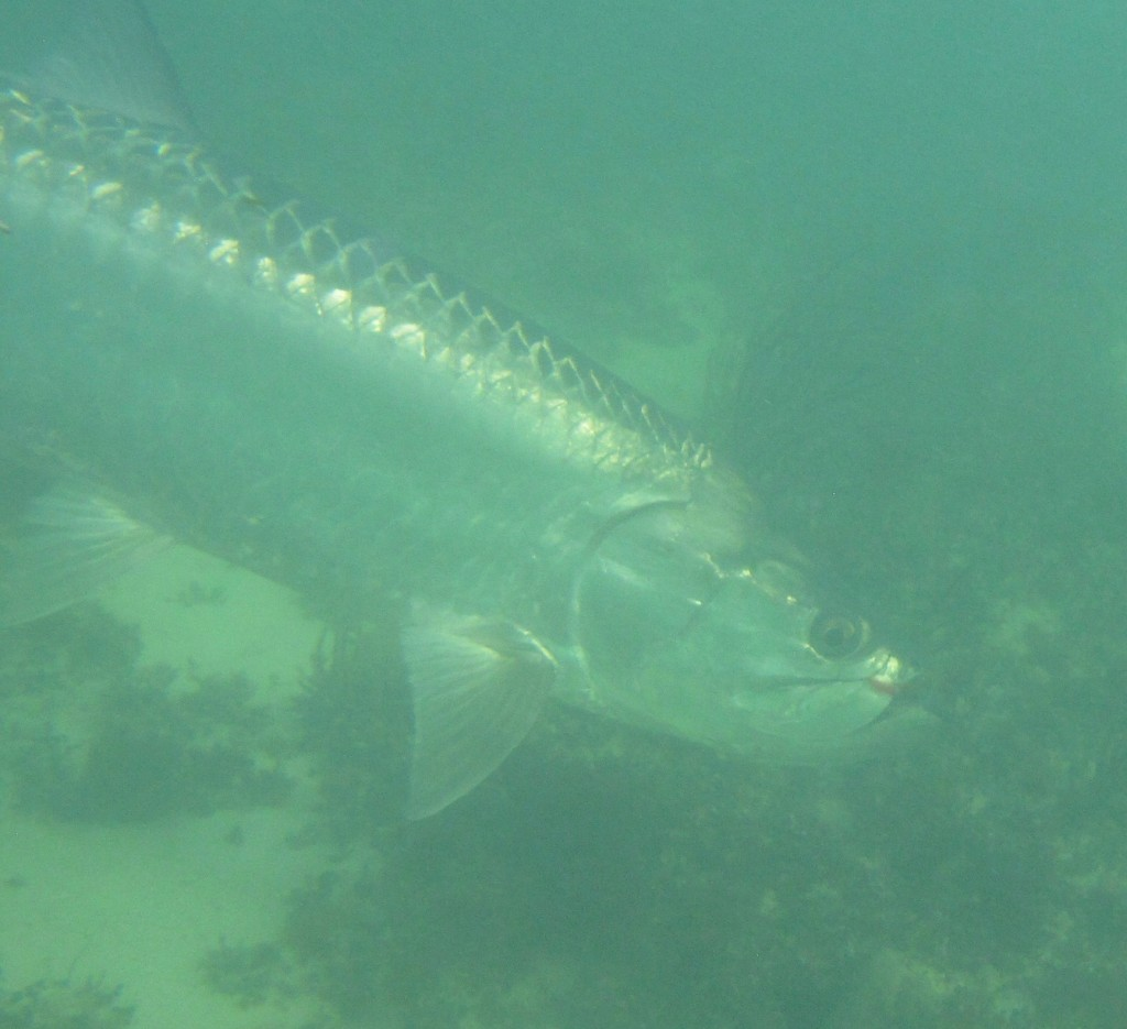 underwaterTarpon